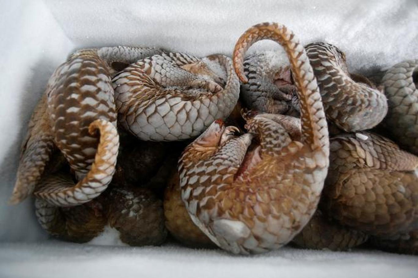 Gabon, pangolin ve yarasa yemeyi yasakladı