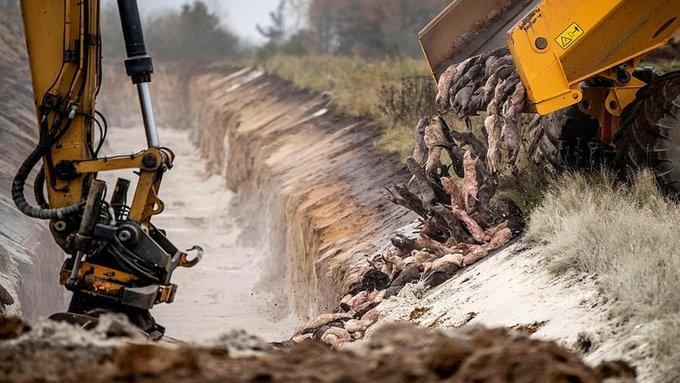 Yeni bir felaketin habercisi mi? 17 milyon vizon canlı canlı gömüldü