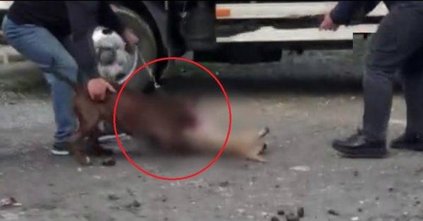 İstanbul'da pitbull vahşeti! Canlı canlı parçaladı