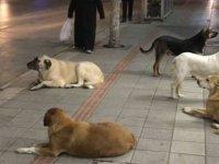 Başıboş köpekler şehri işgal etti! 1500 saldırı gerçekleşti
