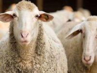 Tarım Bakanlığı'ndan 'kurbanlık' açıklaması